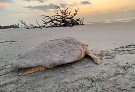 an adult sea turtle covered in sandy crawls across a beach toward the ocean.  There is a driftwood tree half buried in the sand in the background.